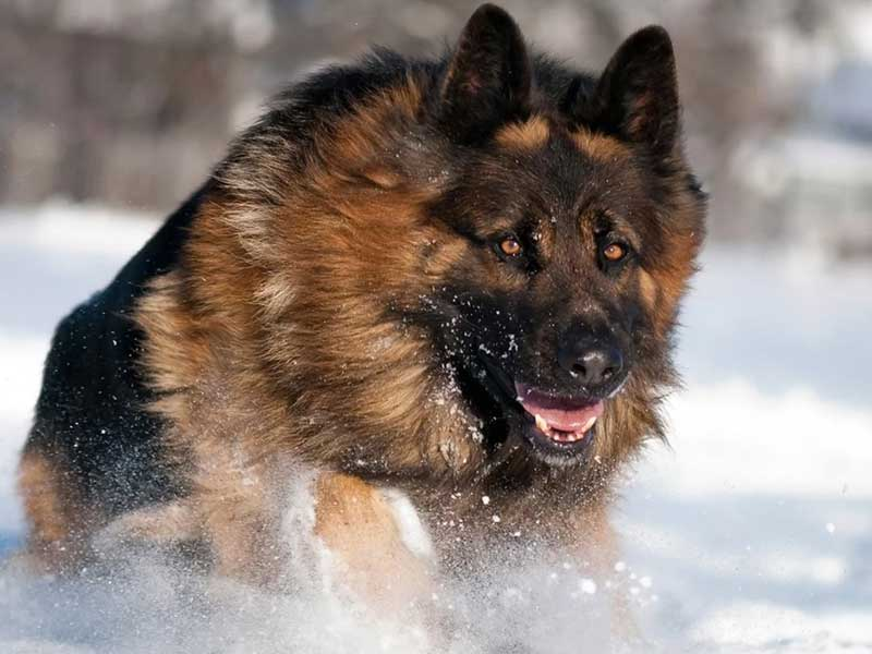 Long Haired German Shepherds 7 Frequently Asked Questions Allshepherd