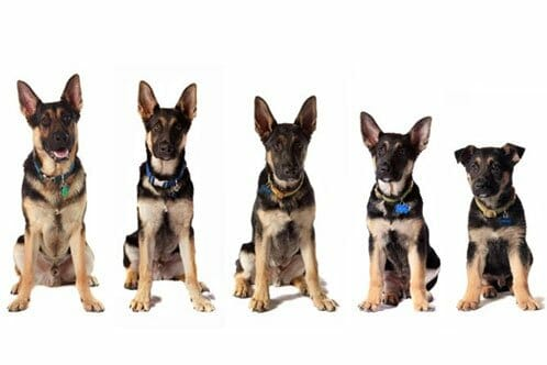 German Shepherd Growth Chart Featuring