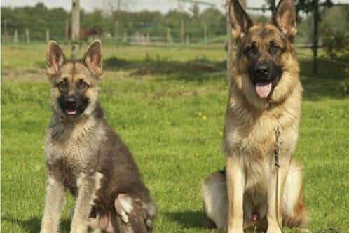 Miniature German Shepherds Your