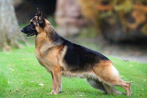 American German Shepherd Vs European