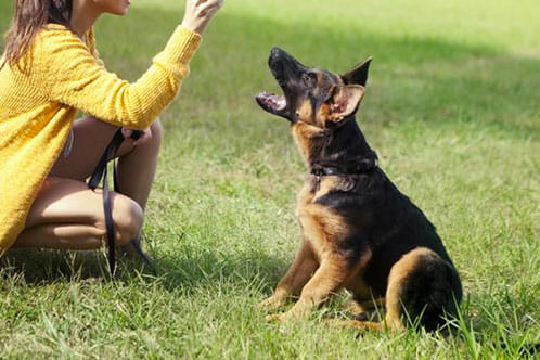 Why German Shepherd Obedience Training Is Necessary? - AllShepherd