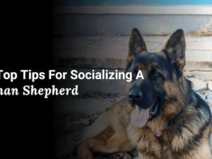 Socializing a German Shepherd