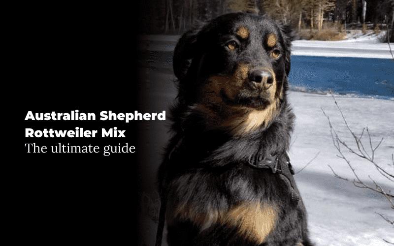 Australian Shepherd Rottweiler Mix