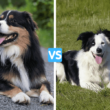 Australian Shepherd vs Border Collie