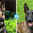 Dutch Shepherd vs German Shepherd